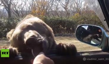 'Sobornan' oso con galletas desde un coche para que les 'permita' pasar