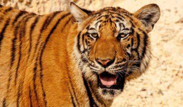 Dos tigres del zoológico de Miami dan negativo por coronavirus