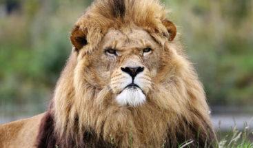 Un león despierta de la peor manera a una leona y le provoca un buen susto