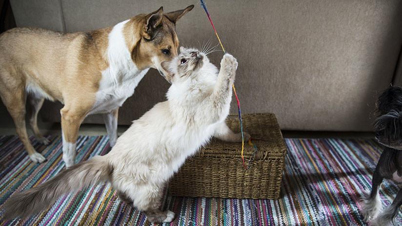 La insólita reacción de un gato a caricias de un perro se vuelve viral