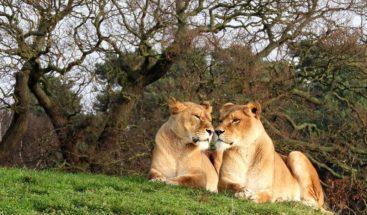Captan en que un león se interpone en camino de una leona y le arruina la caza