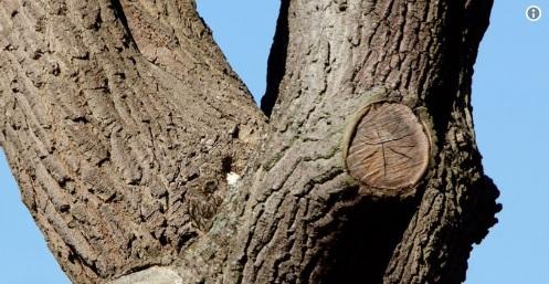 ¿Ve a la lechuza? Se viraliza la imagen de un ave casi invisible en un árbol