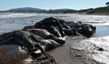 Pingüinos que emigran de Argentina a Brasil mueren en las costas uruguayas