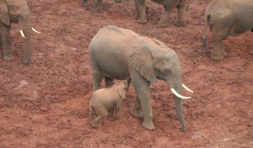 Rescatan a seis crías de elefante atrapadas en un pozo de barro en Tailandia