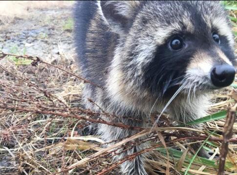 Nueva York lanza campaña de vacunación de mapaches tras varios casos de rabia