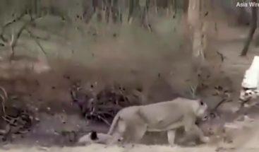 Perro enfrenta y vence un león que quería convertirlo en su presa en la India