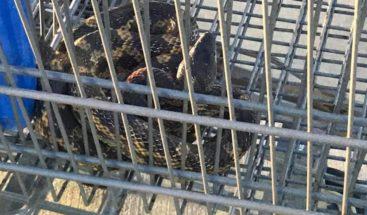 Serpiente escondida en unos carritos de compras casi mata del susto a un empleado de Walmart