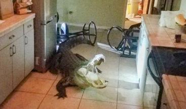 Un enorme caimán irrumpe en la cocina de una casa en EE.UU.