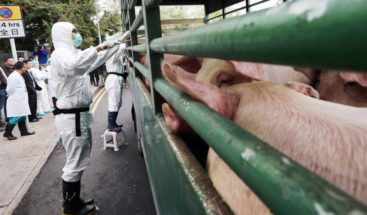 Laos informa sobre primeros casos del brote de peste porcina africana