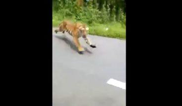 Tigre persigue motorista en la India