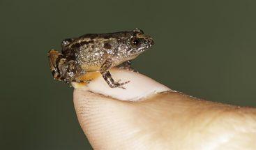 Descubren una nueva especie de diminuta rana en Costa Rica