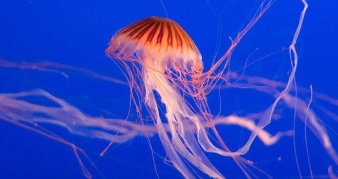 Identifican los genes relacionados con el veneno en tres especies de medusas
