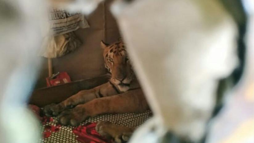 Un tigre irrumpe en una casa y se relaja en una cama tras huir de una inundación en la India