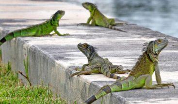Aumenta proliferación de iguanas en la Florida; autoridades dan licencia para matarlas