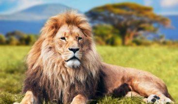 Cazadores disparan a quemarropa a un león y se felicitan por su