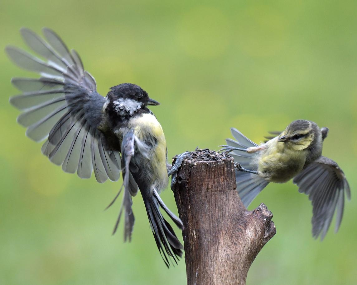 Agresividad de pájaros machos es indicativo de evolución de nuevas especies