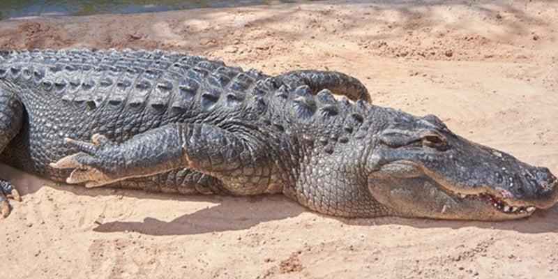 Un hombre de Florida es detenido por tratar de emborrachar a un caimán