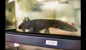 Los humanos pueden regenerar tejidos como las salamandras