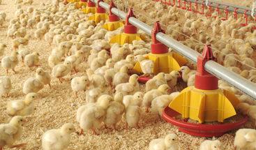 Lanzan campaña de bioseguridad para la industria avícola dominicana