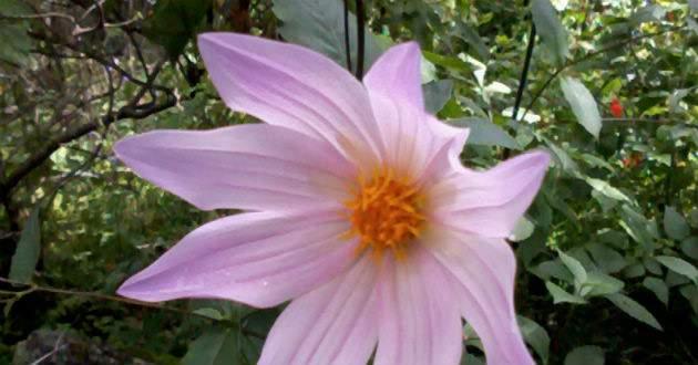 Estudio prueba que flor Dalia ayudaría a combatir la diabetes