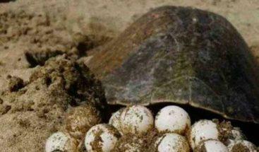 Metales en huevos de tortugas anidados en Panamá hace peligroso su consumo