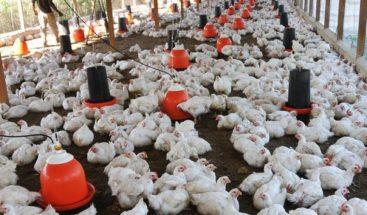 Ministro de Agricultura desmiente muerte de miles de pollos y gallinas a causa de gripe aviar