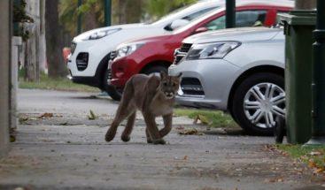 Insólito! Un Puma sale de paseó por las solitarias calles de Chile