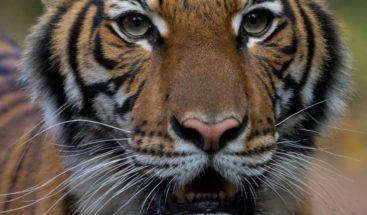 Un tigre de Nueva York tiene el coronavirus, según el zoológico de El Bronx
