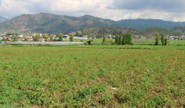 Productores de Constanza piden se asegure comercialización de cosecha