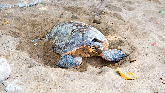 Muere bebé en Elías Piña tras ingerir sangre de tortuga contra coronavirus