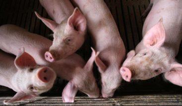 Científicos chinos alertan de gripe porcina que podría trasmitirse a humanos