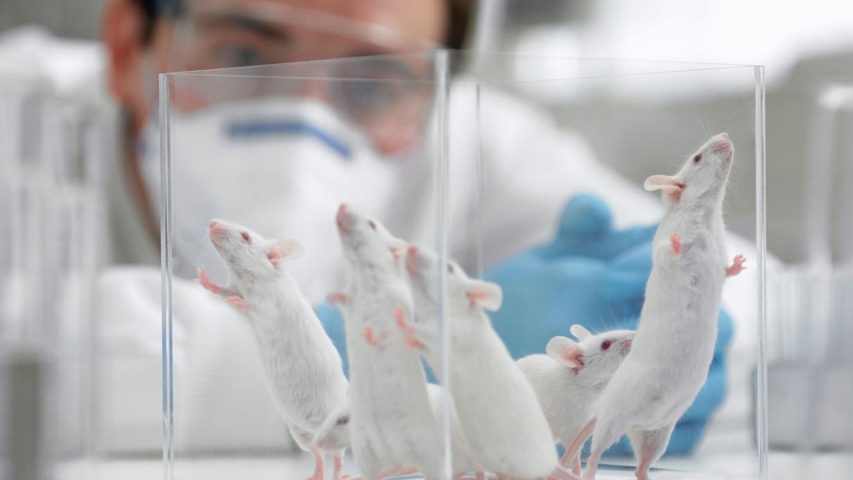 Trasplantan con éxito en ratas minihígados humanos creados en laboratorio