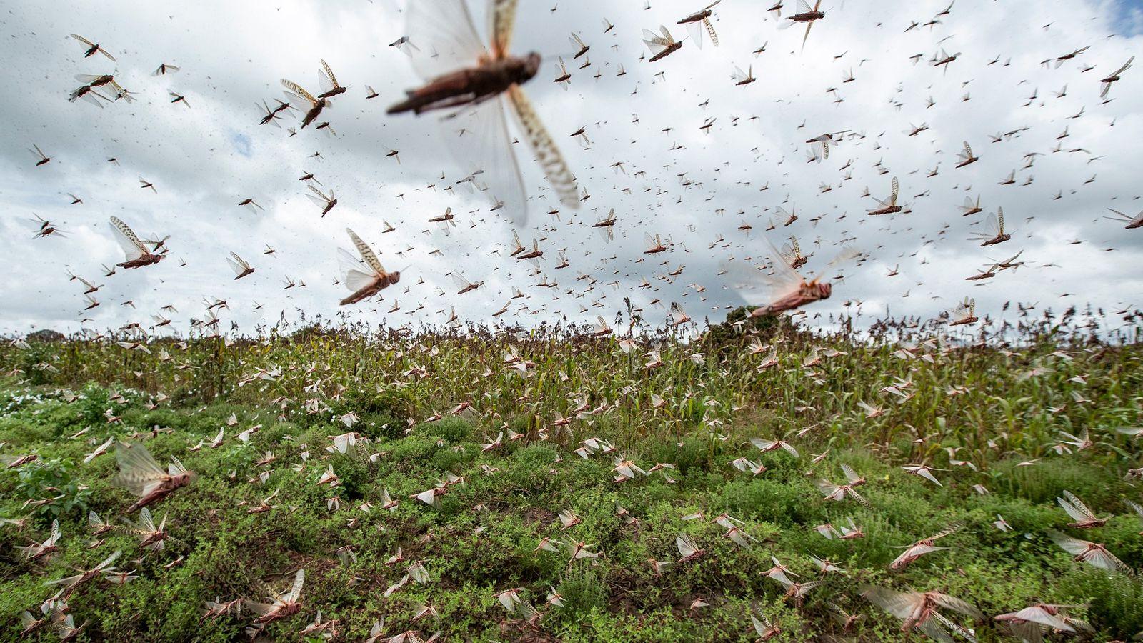 Una plaga de langostas, la nueva amenaza en plena pandemia