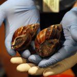 Expertos mexicanos estudian veneno de caracol para combatir dolor crónico
