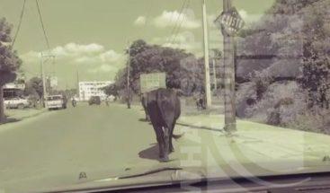 Residentes denuncian vacas obstaculizan las vías en Manoguayabo
