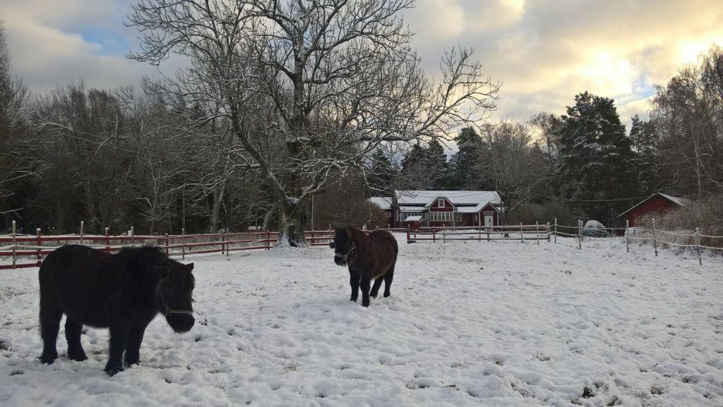 Poneja Skatan tilan edessä talvisella laitumella.