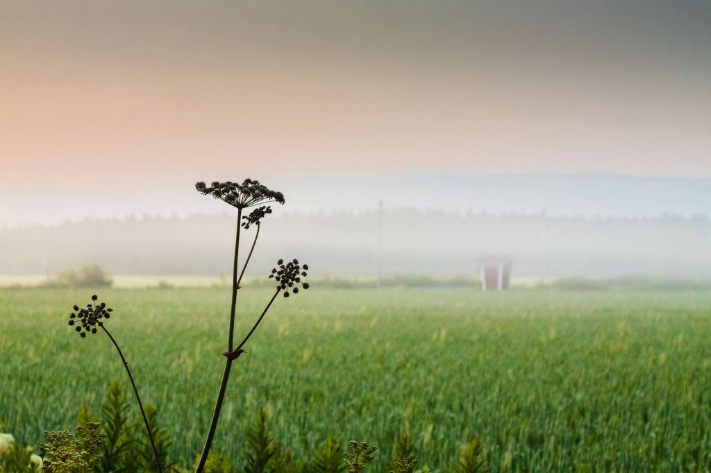 Koiranputki etualalla, taka-alalla vihreää peltoa ja usvaa.