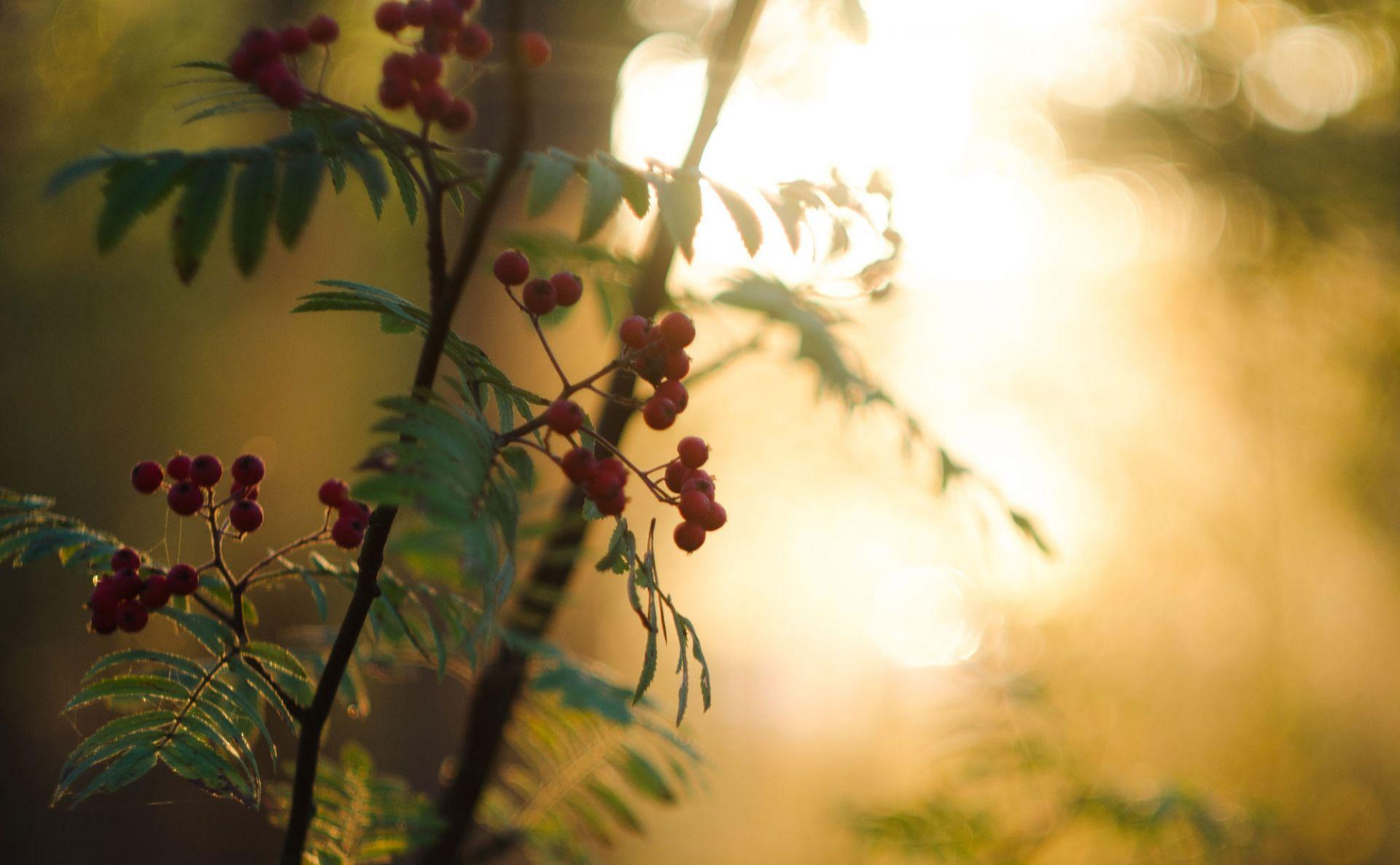 Pihlajanmarjoja ilta-auringossa.