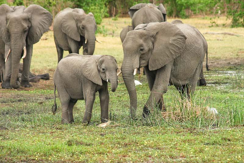 Aikuinen norsu norsunpoikasen vieressä, taustalla norsulauma.