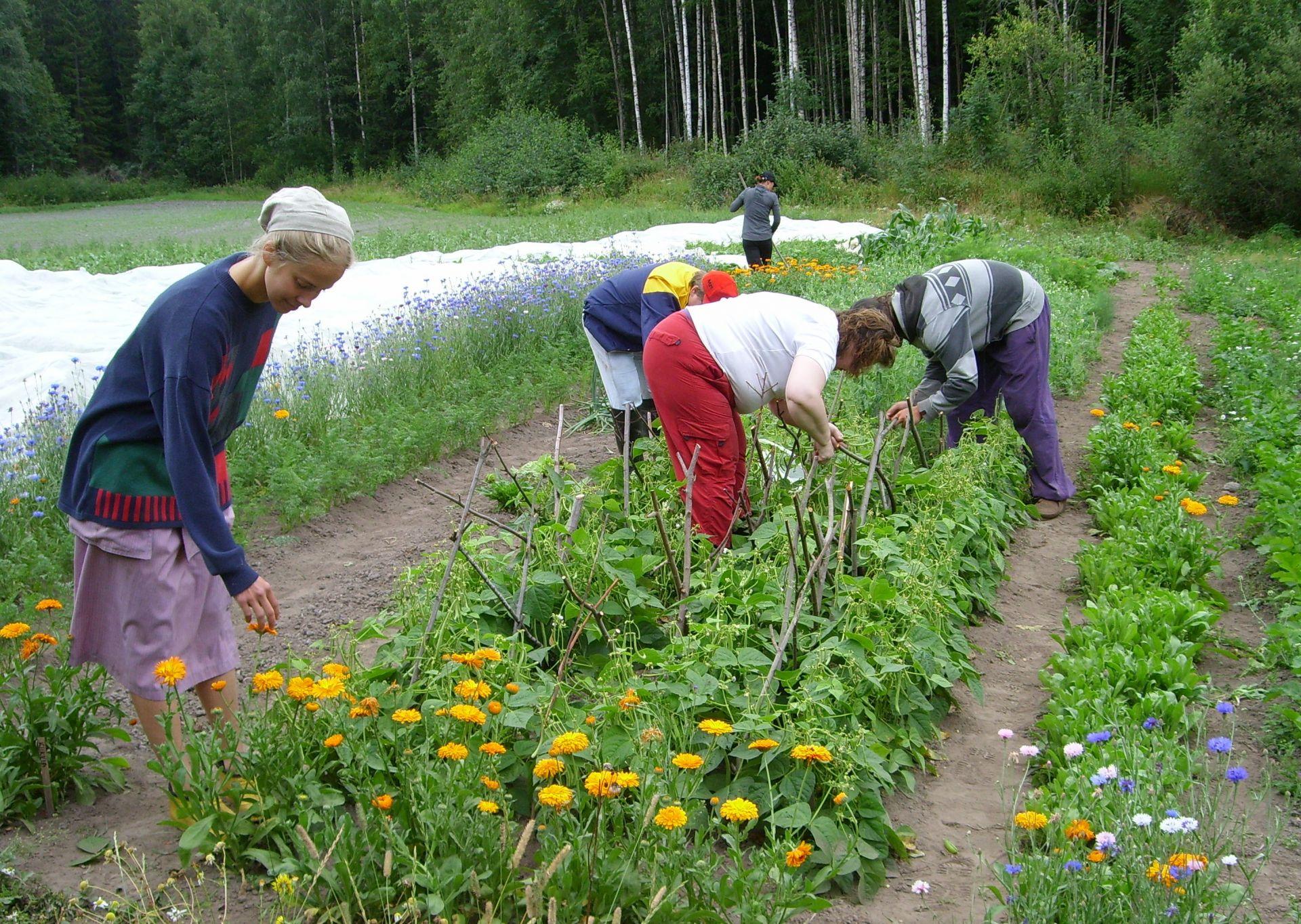 Viisi ihmistä tekevät puutarhatöitä kasvimaalla.
