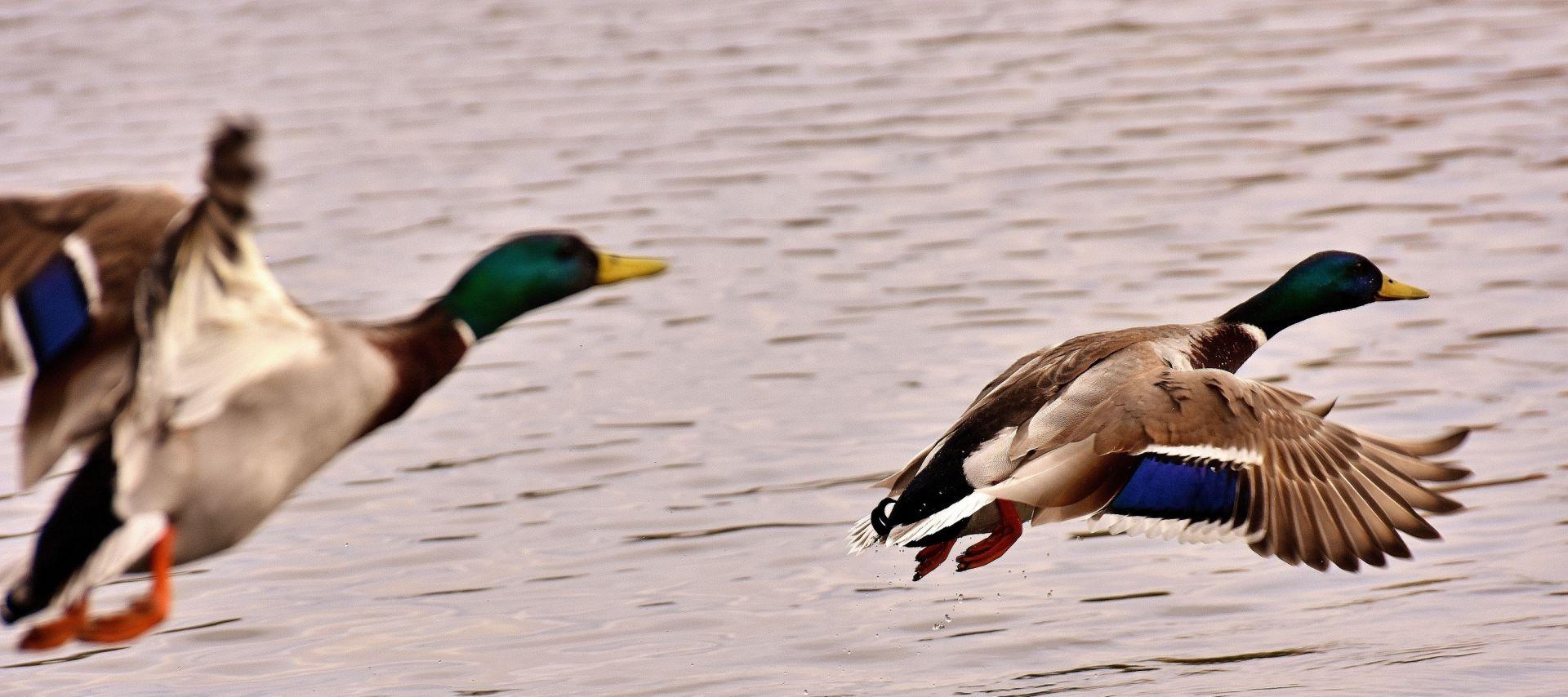 Kaksi sinisorsaa lentää veden pinnan yllä.