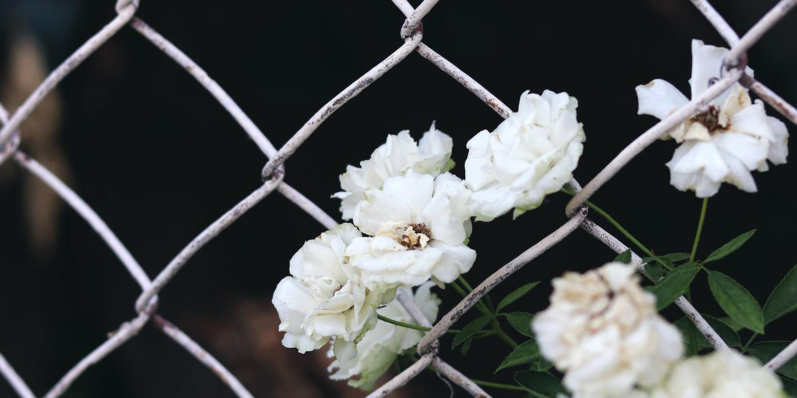 Valkoisia kukkia verkkoaidan takana.