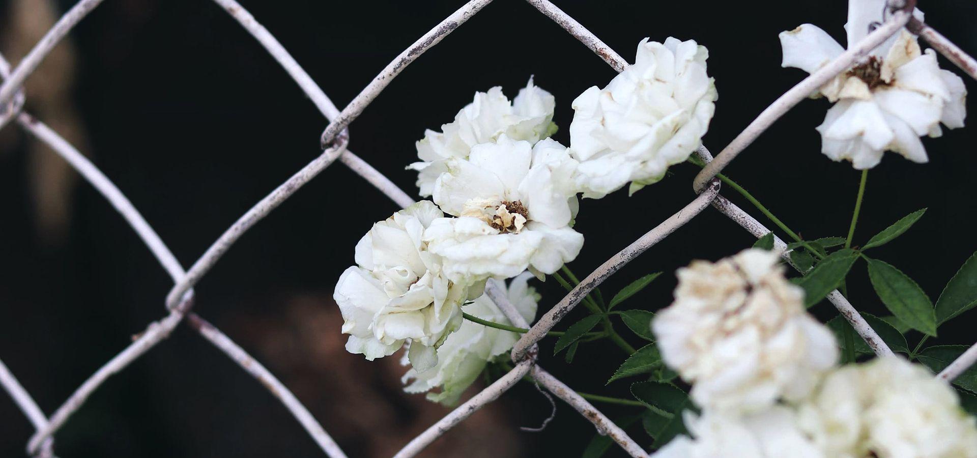 Valkoinen kukka verkkoaidan takana