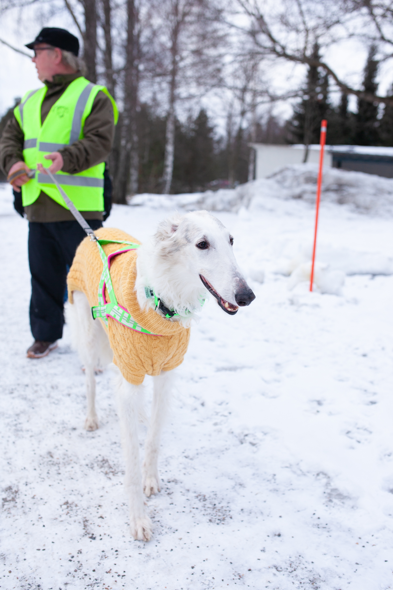 Mies taluttaa vaaleaa keltaiseen neuleeseen puettua venäjänvinttikoiraa lumisella tiellä.