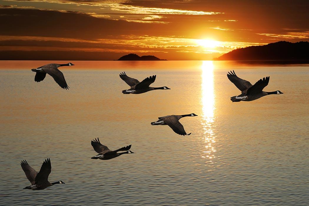 Aves em bando
