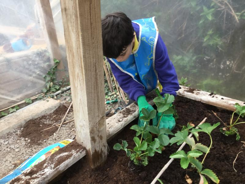 Gardening with Miss Corrigan:Planting out Strawberries