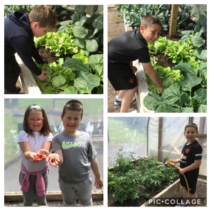 Picking fresh lettuce and fruit in the polytunnel