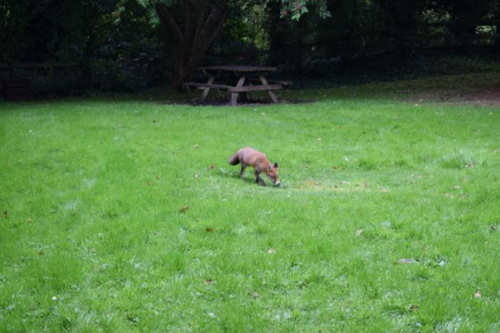 The crafty fox decided to join us for lunch!