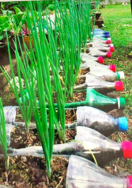 A great idea to use old plastic bottles to grow  some vegetables