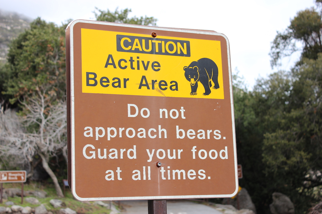 parque nacional de las secuoyas - osos negros